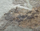 MESACANTHUS  MITCHELLI - LOWER DEVONIAN, SCOTLAND..